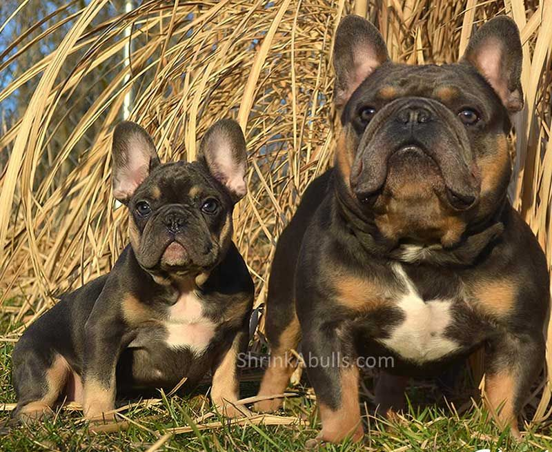 Chocolate French bulldog sire and puppy Cute dogs and