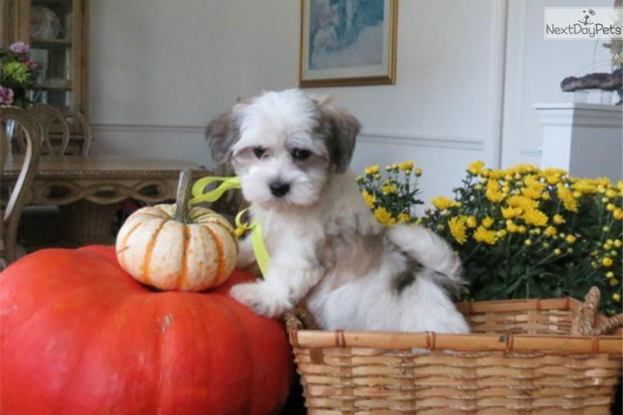 Havanese for sale Havanese puppies, Havanese for sale