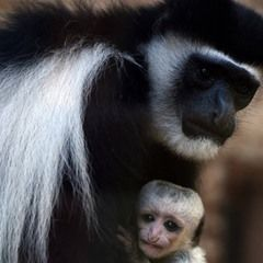Mantled guereza holds baby at Usti nad Labem