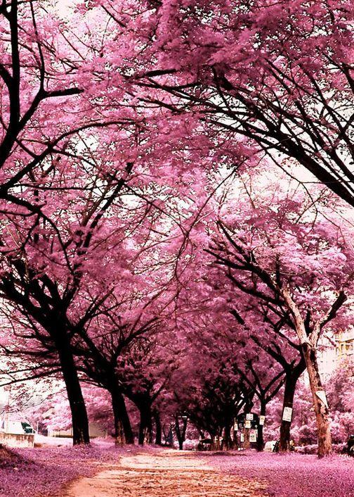 Facebook Log In Or Sign Up Pink Trees Pink Flowering Trees Flowering Trees
