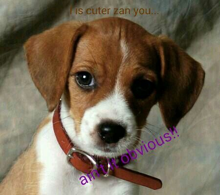 Aww   Jack russell terrier, Jack russell mix, Beagle