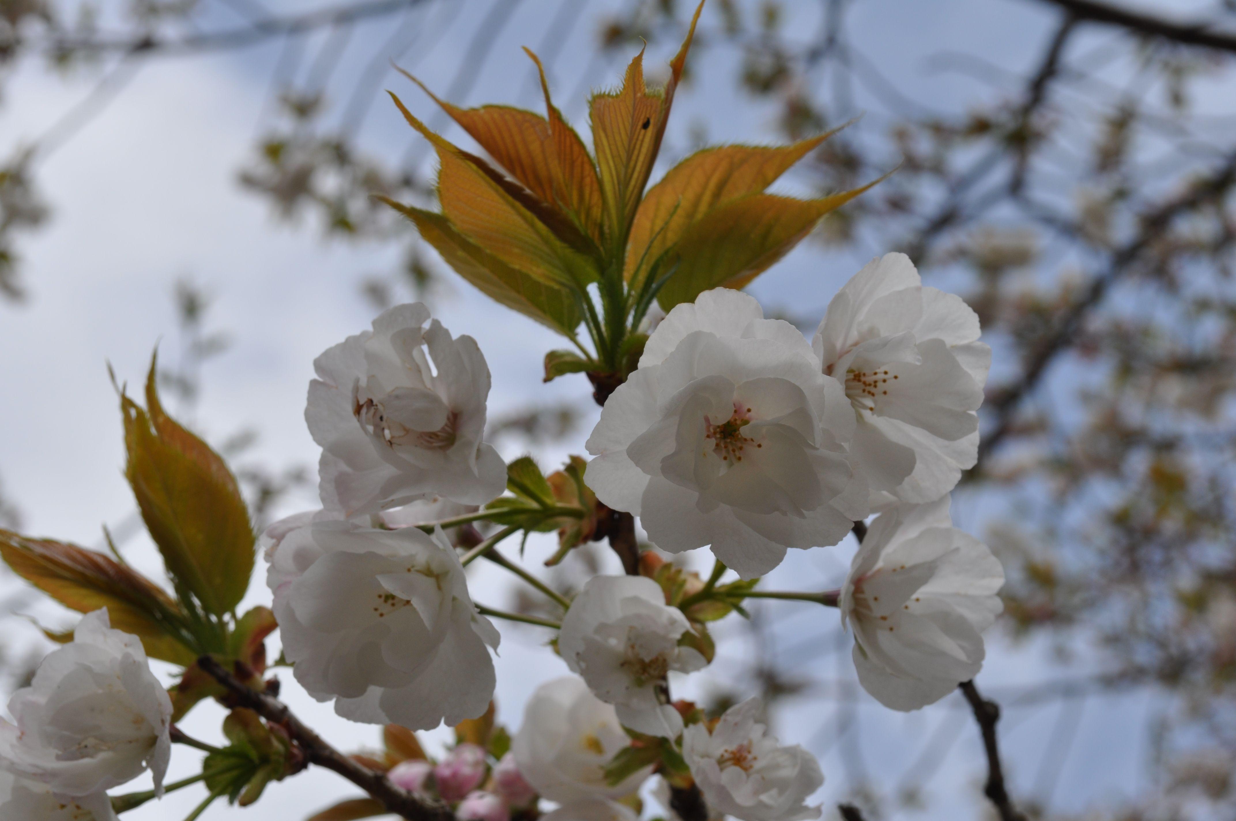 A cherry blossom breaks up immediately i feel a lonely feeling in