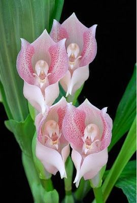 Type Of Flower Anguloa Anguloa Commonly Known As Tulip Orchids Botanical Name Anguloa Uniflora Also Kno Unusual Flowers Orchid Flower Beautiful Flowers