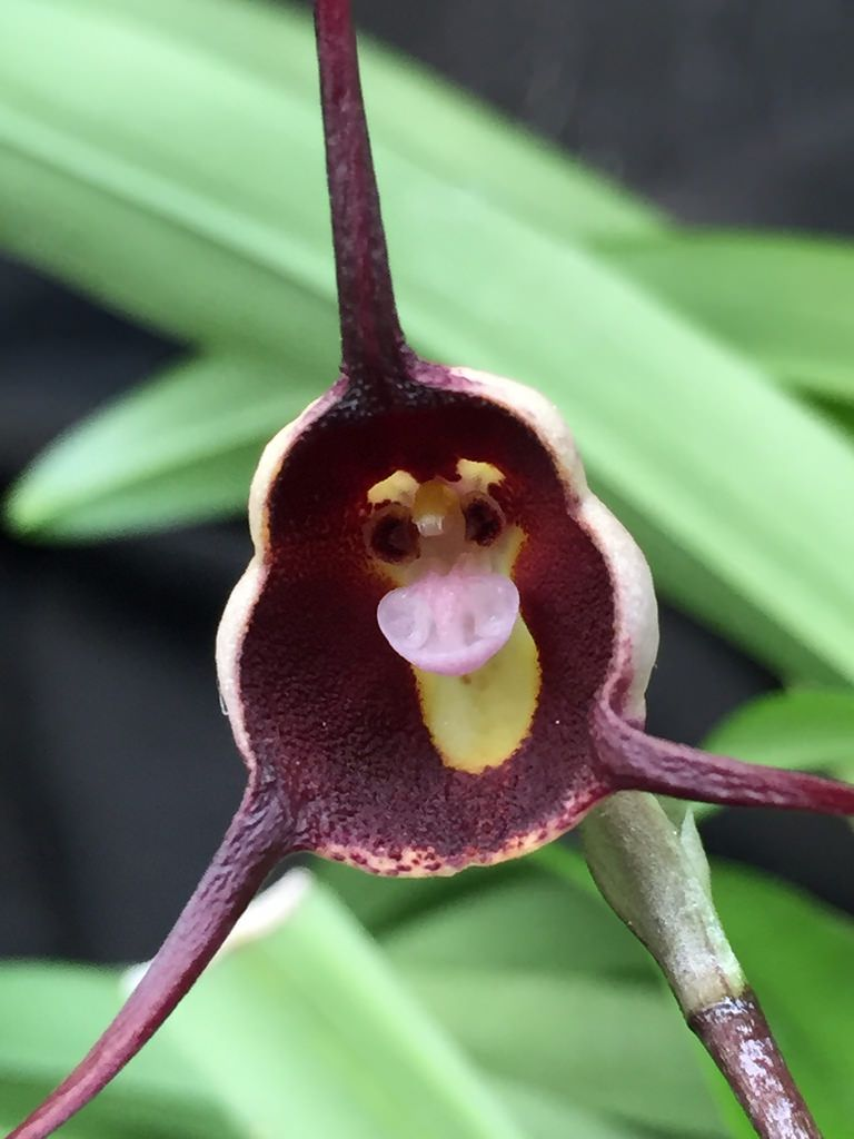 Dracula benedictii dracula brown orchid orchidsbyhausermann