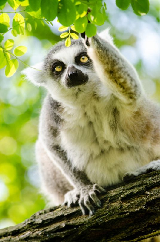 Ring Tailed Lemur Animals Friends Cute Animals Animals Wild