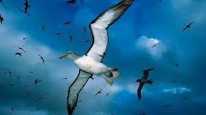 Resultado de imagem para cisne voando