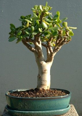 geldbaum bonsai pinterest bonsai bonsai baum und baum. Black Bedroom Furniture Sets. Home Design Ideas