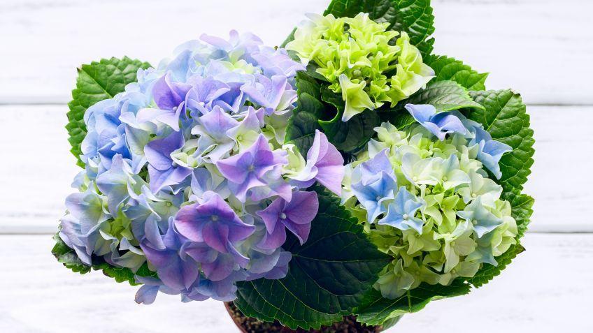 C mo y cu ndo reproducir las hortensias por esquejes - Como cuidar las hortensias en maceta ...