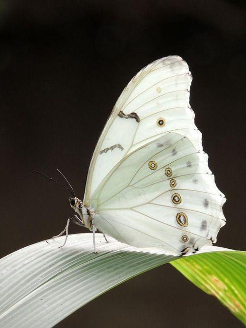 Pin Von Elisabeth Legeler Auf Malen Weisser Schmetterling Schone Schmetterlinge Und Fliegende Insekten
