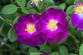 Kuvahaun tulos haulle ruusuja
