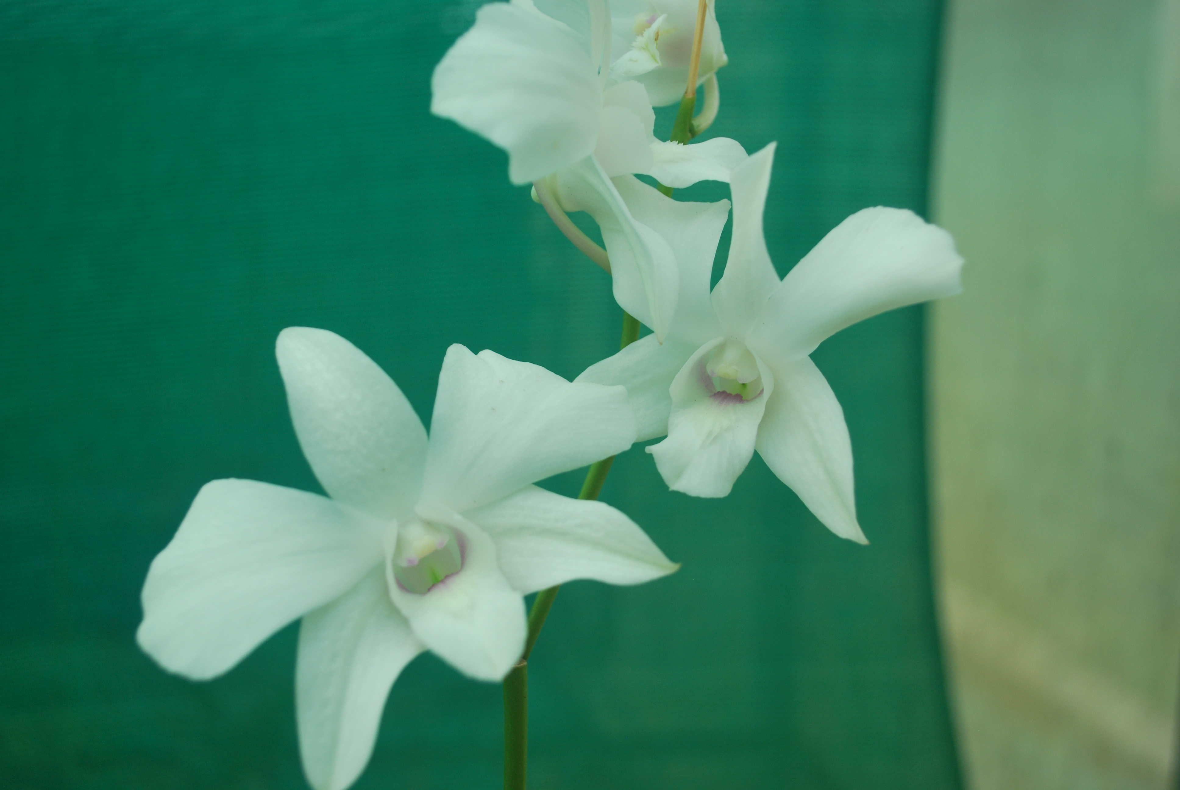 Orchid Plants Online Sale