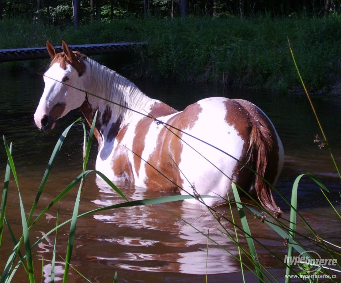 Gorgeous American Paint Horse