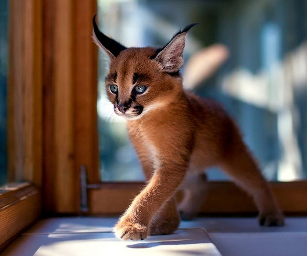Just Look That S Outstanding Beautiful Cats Caracal Kittens Cat Species