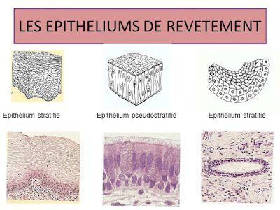 LES EPITHELIUM DE REVETEMENT DOWNLOAD