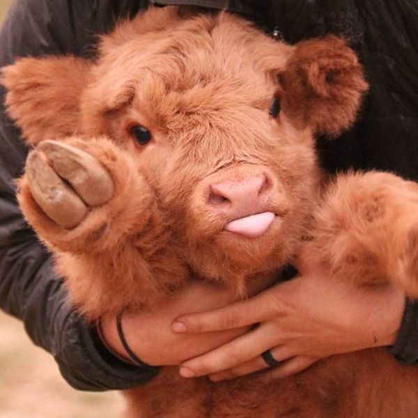 Adorable Highland Cattle Calves Are the World's Cuddliest Little Cows