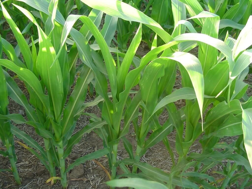 مدى تأثير المقاومة البيولوجية على بعض أمراض أصناف الذرة Zea Mays خلال المراحل الأولى من الإنبات Agriculture Plants