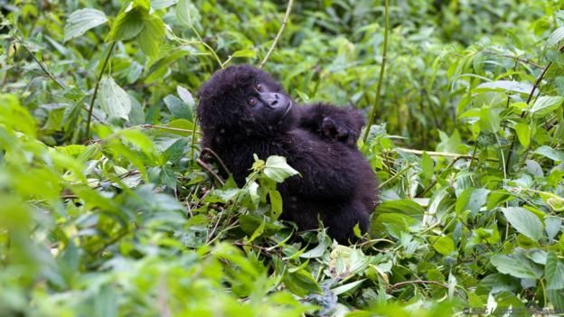 How To Make Friends With Wild Gorillas 365 Days Our