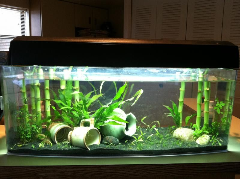 Lucky Bamboo In Aquariums Google Search Freshwater Fish Tank