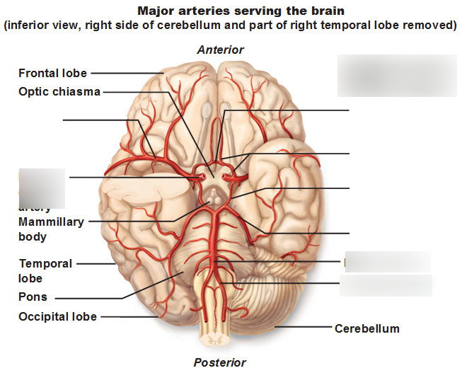 Anatomy of blood vessels: Circle of Willis Diagram | Quizlet | Nurse
