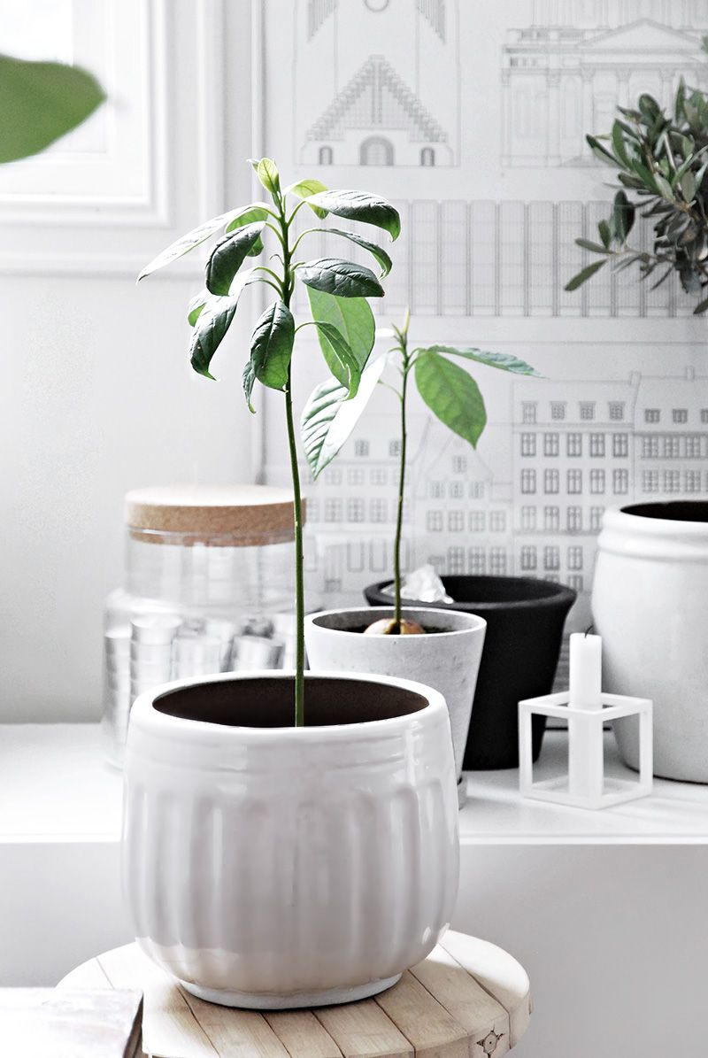 only deco love my avocado trees a tale of growth - Growing Avocado Trees