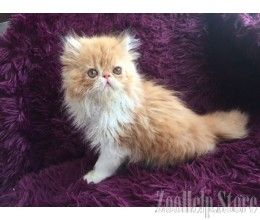 Persian kittens for sale in florida
