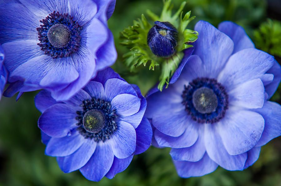 Rare And Beautiful Flowers Of The Himalayas Anemone Flower Beautiful Flowers Flowers