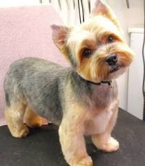 Yorkie Haircut Pictures - THE YORKIE BLOG