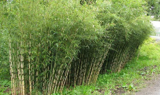 Ornamental Grasses Kenya : This bamboo is more sun tolerant than most other fargesia but in a