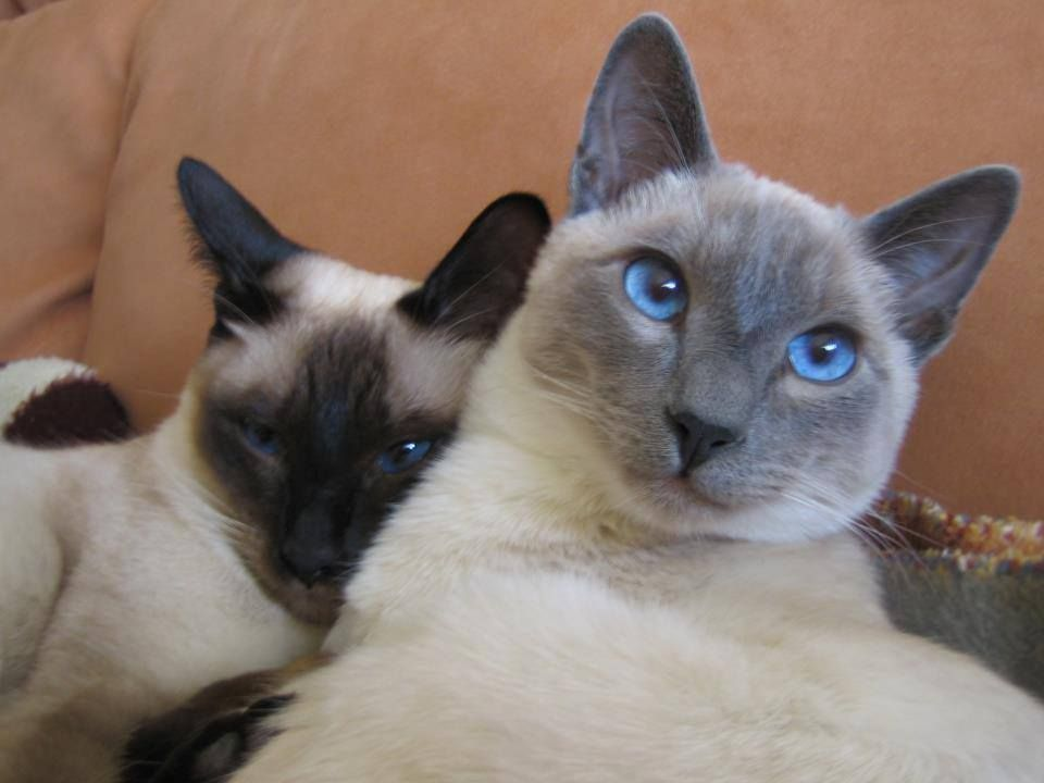 Siamese Orientals Cats Lilac Point Seal Tabby Silver Siamese Seal Point Flame Point Balinese Andtonkinese Pretty Cats Siamese Cats Beautiful Cats
