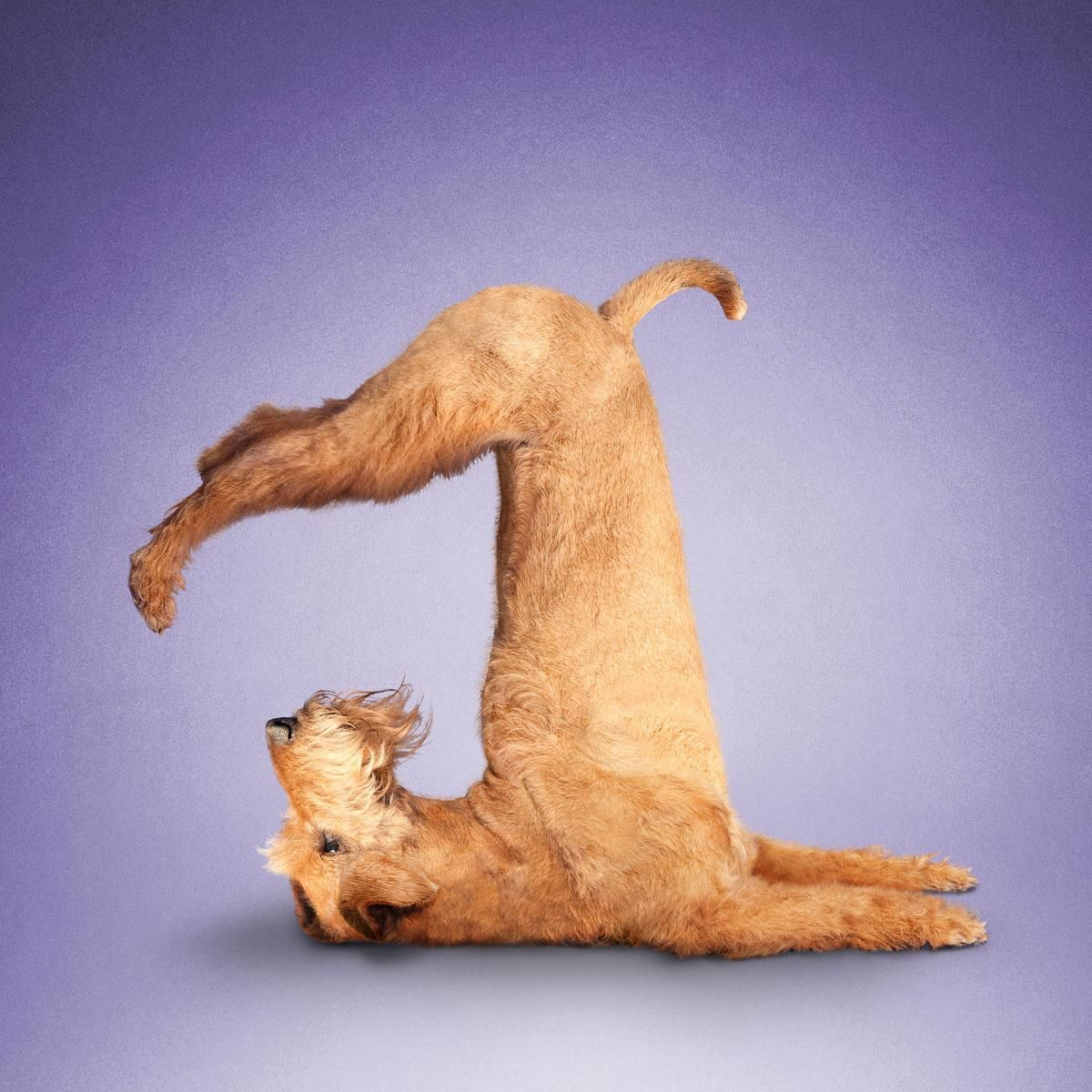 Bilderesultat for yoga dog funny tazz