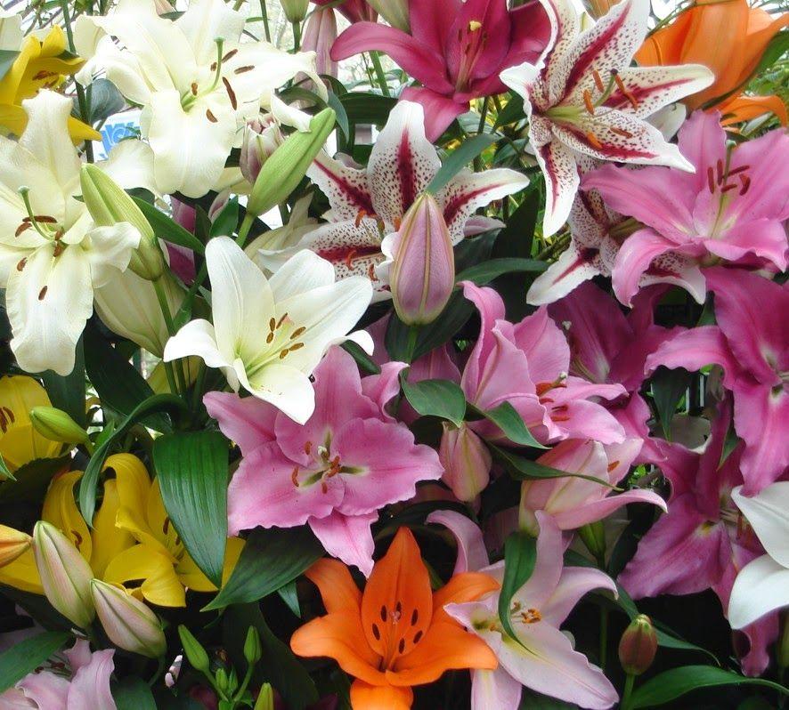 DIVAGAR SOBRE TUDO UM POUCO: Açucena - A flor da altivez e