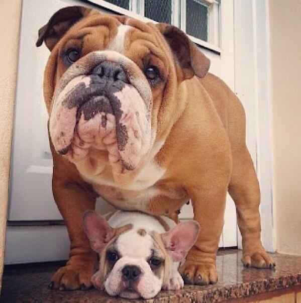 Father And Son Cute Dog Pictures Bulldog Puppies Cute Animals
