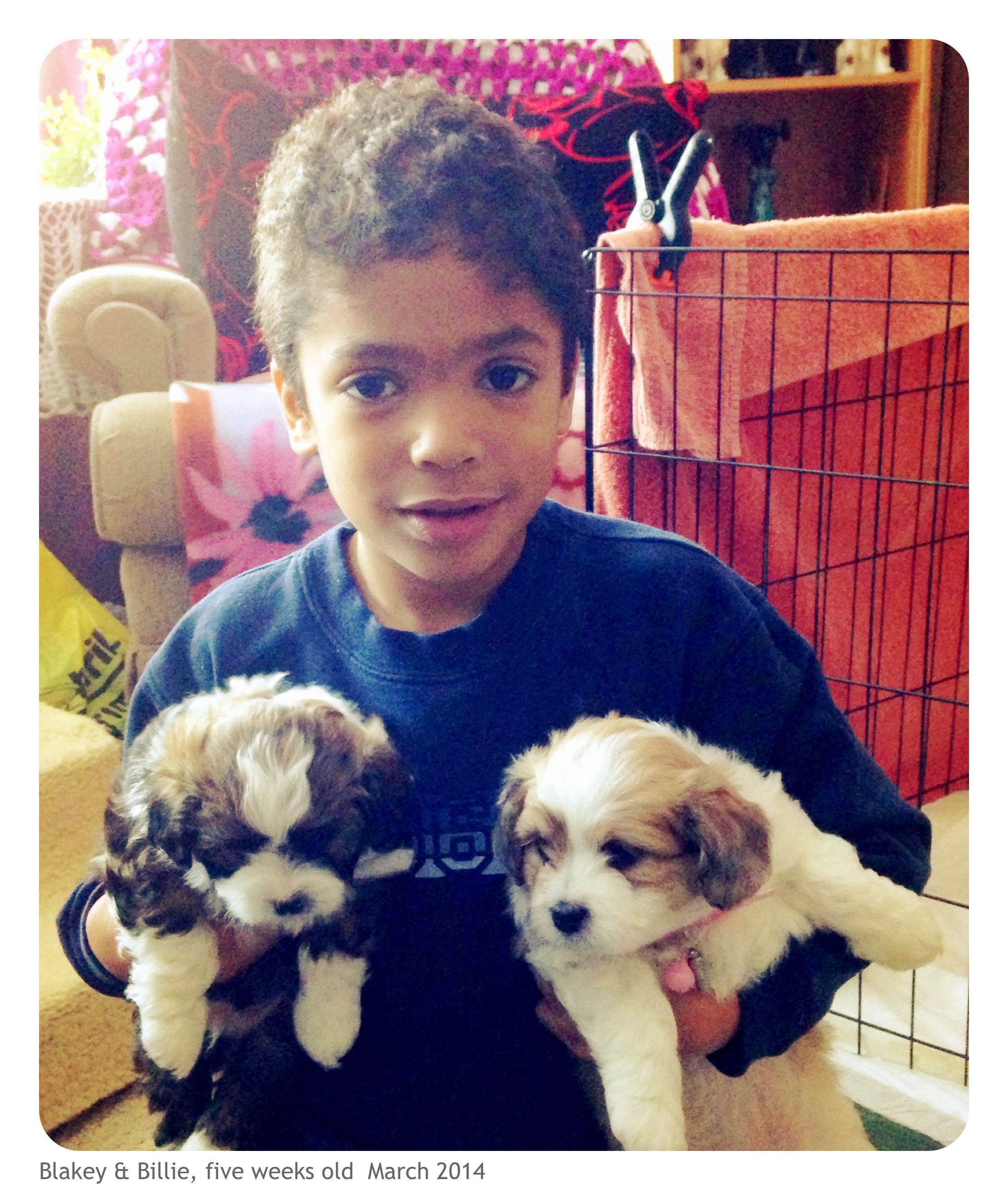 Seven Week Old Aussiechon Puppies Mini Aussie X Bichon Frise Bichon Frise Puppies Bichon