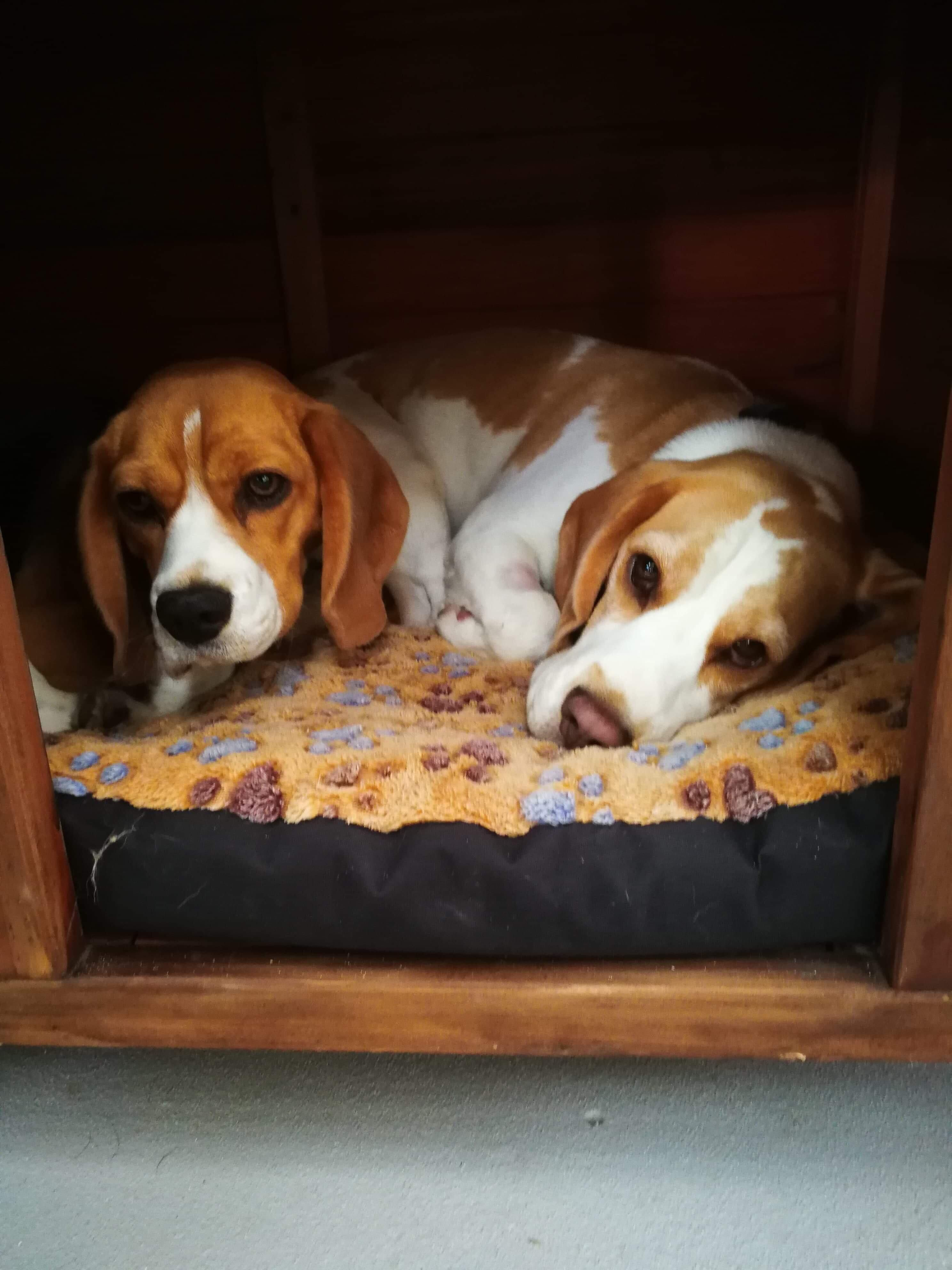 My Girls Sydney And Melbourne Claiming The Doghouse And Daycare Hello There Bright People Are You Doglover Or Have You Dog Houses Beagle Hound Beagle Dog