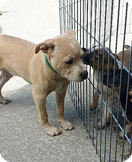 Richmond, MI Boxer/Labrador Retriever Mix. Meet Buddy, a