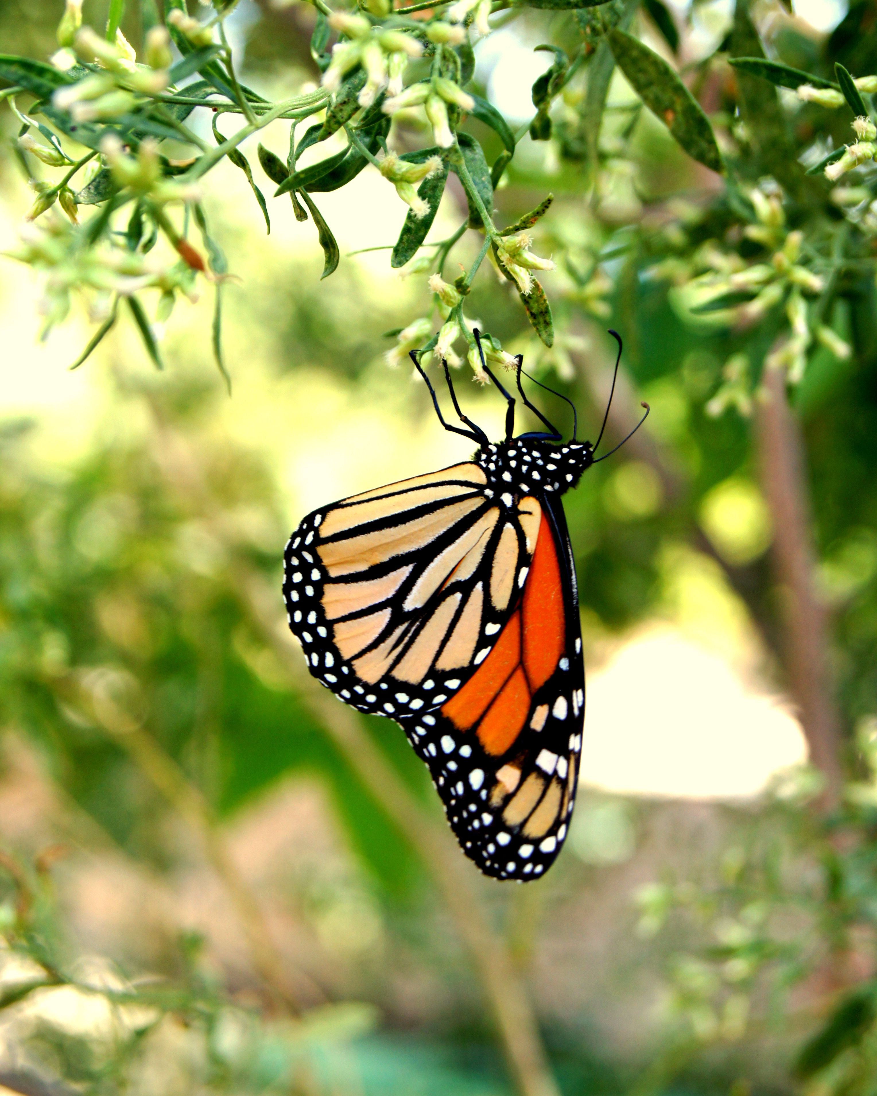 Monarch butterfly monarch pinterest butterfly moth and animal monarch butterfly biocorpaavc Gallery