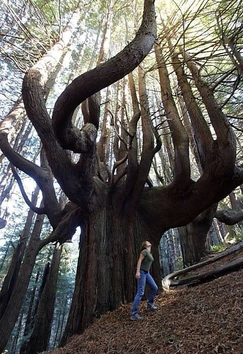 The 'Enchanted Forest' in Usal, California. An 11-acre grove of ancient 500+ year old 'candelabra' redwoods with twisted trunks and branches that shoot out in all directions.