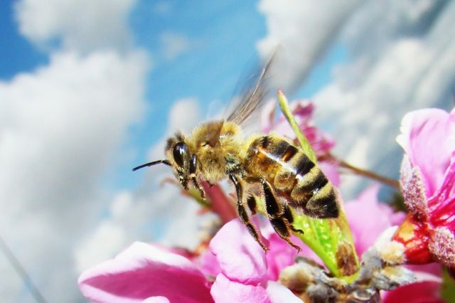 Bee Deviled: Scientists No Longer Bumbling Over Cause Of Colony Collapse Disorder (Yet another reason not to use pesticides.)
