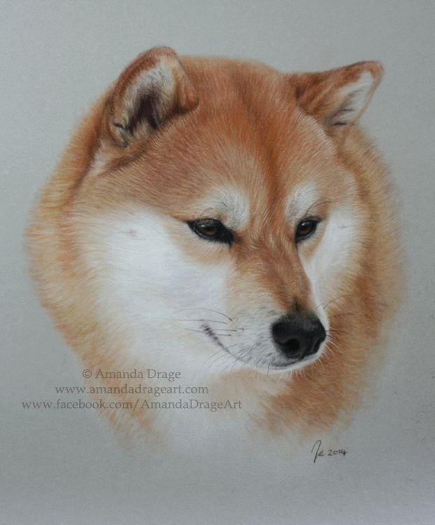 Kita Portrait By Amanda Drage Japanese Shiba Inu Animal Drawings Dog Drawing Dog Portraits