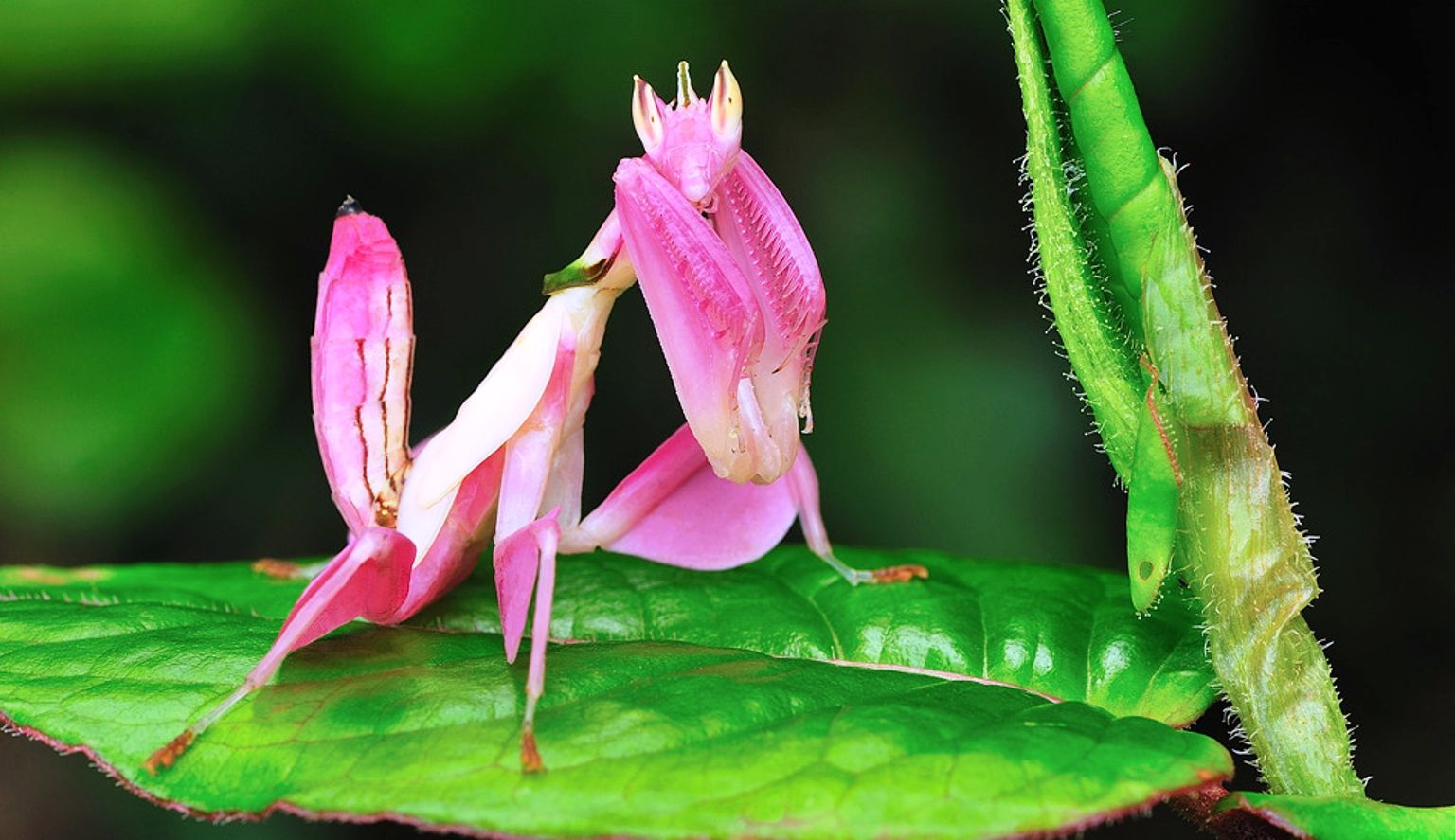 Mantis orquidea hymenopus coronatus mantis santa teresas it is known by various common names including the walking flower mantis or the orchid mantis dhlflorist Image collections