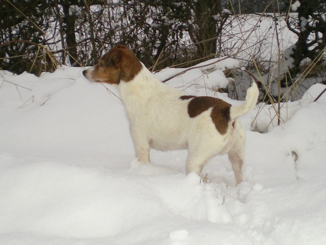 My Jack Russell - Alfie - loving the snow