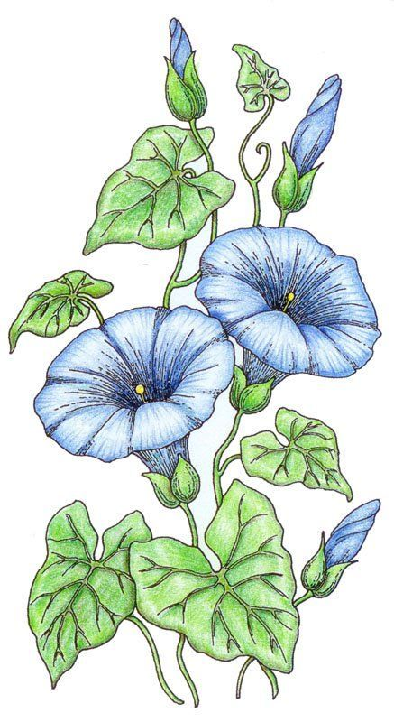 I Embroidery Morning Glories By Tanja Berlin Flower Drawing Morning Glory Tattoo Flower Painting