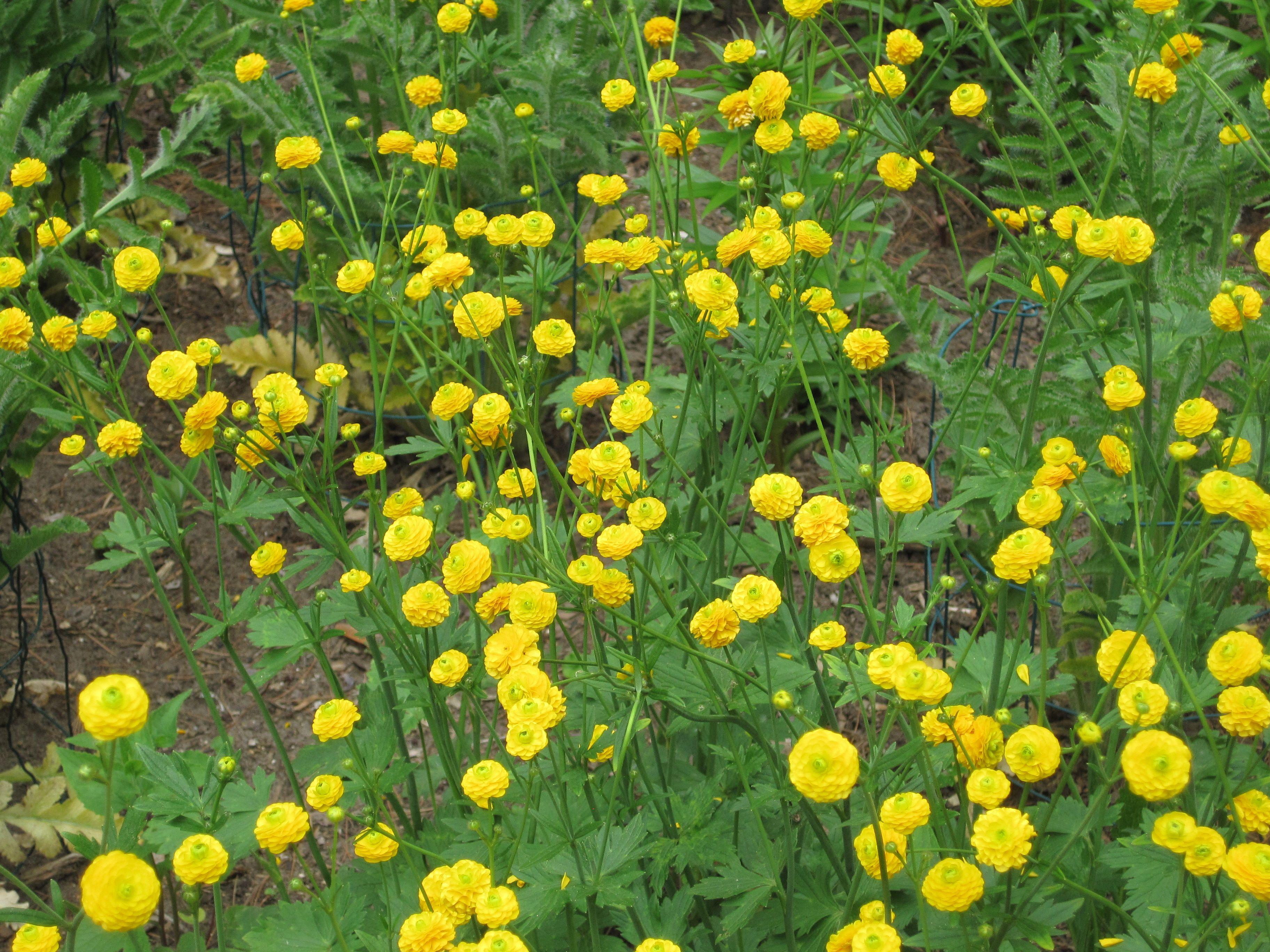 Bachelor Buttons Flower Yellow Perennial Yellow Perennials Bachelor Button Flowers Witch Garden