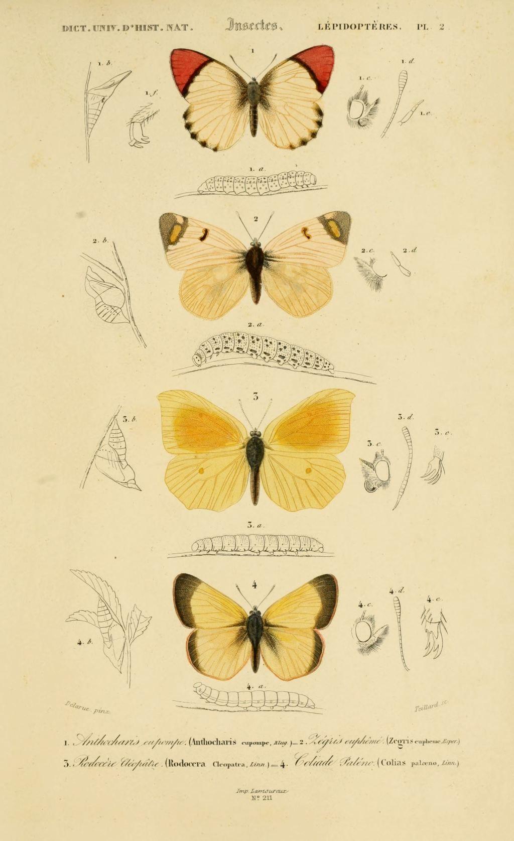 Gravures couleur d 39 insectes dessin insectes 0177 - Papillon dessin couleur ...