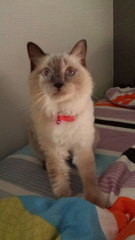 Have You Seen This Missing Ragdoll Cat Lost At Hougang Here S The Detail Of The Missing Pet Cat Name Bella Gender Female Breed Ragdoll Cat Cats Ragdoll