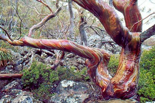 SNOWGUM BARK (Eucalyptus coccifera) Mount Field,Tasmania
