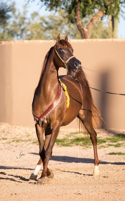 View Photos Videos And More At The Scottsdale Showcase Arabian Horses Stallions Farms Arabians For Sale Beautiful Arabian Horses Arabian Horse Horses