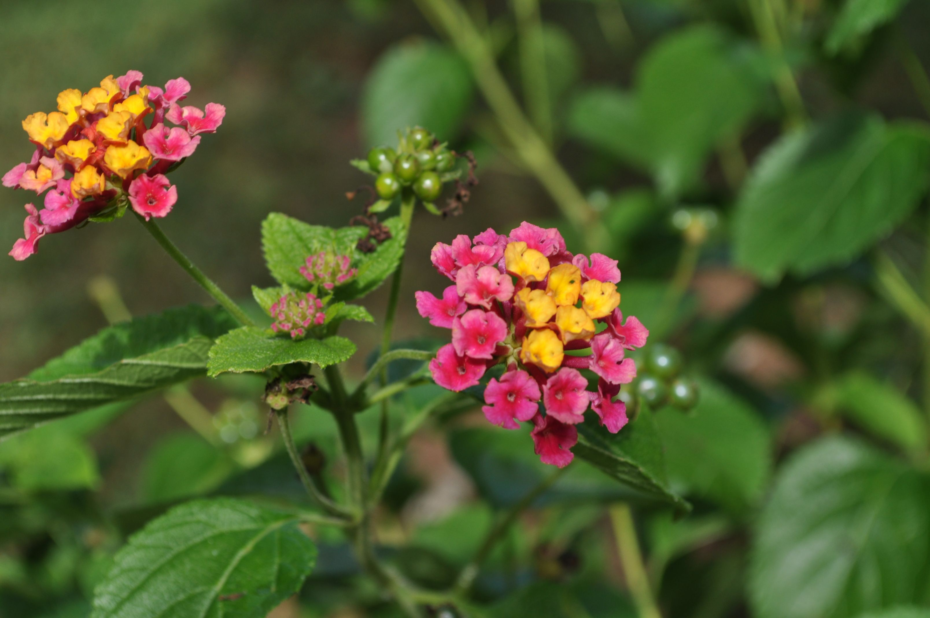 Lantana Lantana Camara View This Specimen In The Gardens At Old Salem Or Purchase One For Your Garden In The Garden Shop At T Plant Sale Garden Shop Lantana