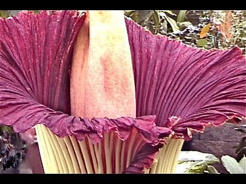 Amorphophallus Titanium Corpse Plant The Largest Flower In The World Only Blooms Every 40 Years Strange Flowers Secret Life Of Plants Large Flowers