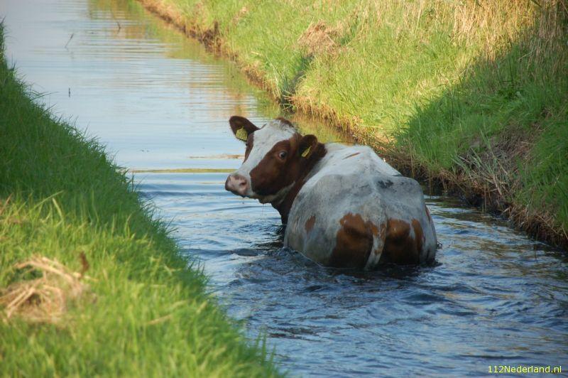 Ouwe koe